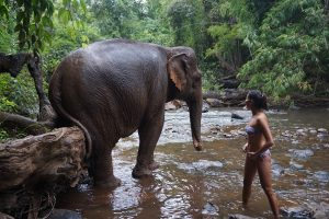 Elephant and human in Mondulkiri, Cambodia